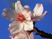 Almond blossom flower Royalty Free Stock Photo