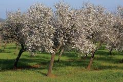 Almond blossom flower Stock Photo