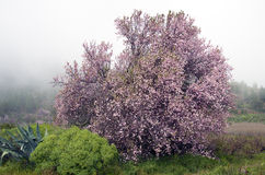 Almond blossom on a foggy day Stock Photo