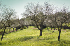 Almond blossom, Ibiza, Spain. Almond trees in bloom on a sunny day with blue sky on the island of Ibiza, Spain Stock Images
