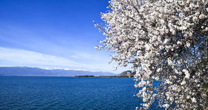 Almond blossom . Lake Ohrid, macedonia Royalty Free Stock Photos