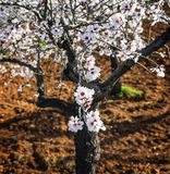 Almond blossom in majorca Stock Images