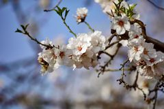 Almond blossom on naked branches in the spring, full frame with blue sky, white and pink flowers. Mallorca, Majorca. Balearic islands Royalty Free Stock Photography