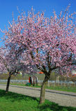 Almond blossom in the palatinate Stock Images