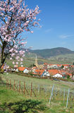 Almond Blossom in the Palatinate,Germany Royalty Free Stock Images