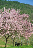 Almond Blossom in the Palatinate,Germany Stock Photos