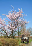 Almond Blossom in the Palatinate,Germany Royalty Free Stock Photography