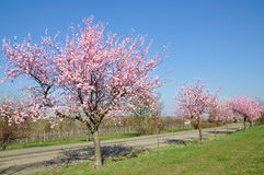 Almond Blossom in the Palatinate,Germany Stock Photo