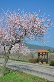 Almond blossom in Palatinate,Germany Royalty Free Stock Image