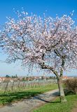 Almond Blossom in Palatinate,Germany Stock Image