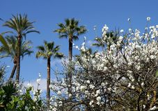 Almond blossom and palm trees Stock Images