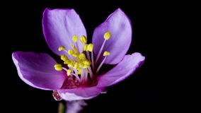 Almond blossom pink flower opens its petals stock video