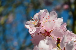 Almond Blossom (Prunus dulcis) during spring intree close-up Royalty Free Stock Photography
