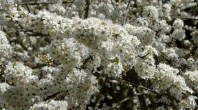 Almond Blossom, Prunus dulcis Royalty Free Stock Photo