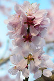 Almond Blossom (Prunus dulcis) during spring in tree close-up Royalty Free Stock Photography