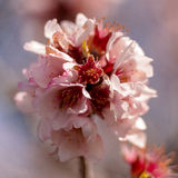 Almond blossom. Santiago del Teide, Tenerife Royalty Free Stock Photography