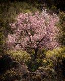 Almond blossom. Santiago del Teide, Tenerife Stock Photo
