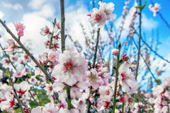 Almond blossom season. On the island of La Palma Spain Stock Images