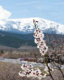 Almond blossom in the Sierra Nevada Royalty Free Stock Photos
