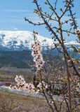 Almond blossom in the Sierra Nevada Royalty Free Stock Images