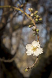 Almond blossom Stock Photo