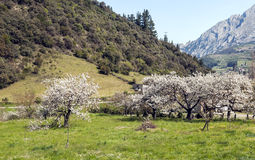 Almond blossom Royalty Free Stock Photos