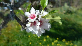 Almond blossom in spring. On the island of Majorca Stock Photos
