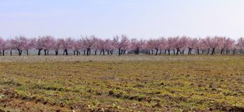 Almond blossom of spring Royalty Free Stock Images