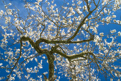 Almond blossom springtime royalty free stock photos
