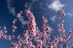 Almond blossom tree royalty free stock image