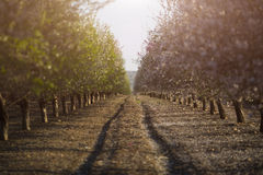 Almond Blossom Stock Images