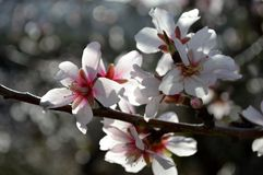 Almond blossom. Almond tree in full bloom Spain Stock Photos