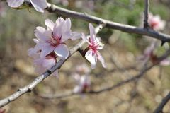 Almond blossom. Almond tree in full bloom Spain Stock Images