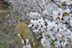 Almond blossom. Almond tree in full bloom Spain Stock Photography