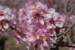 Almond blossom on the tree in the Spring royalty free stock photo
