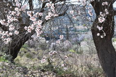 Almond blossom. Almond tree blossom, spring in Cyprus, Troodos road Royalty Free Stock Photography