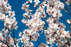 Almond blossom on twigs. Stock Photos