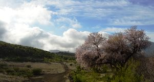 Almond blossom in the the valley above. January is the month when the almond trees blossom on the island of Tenerife, Canarian island, SPain. Almonds remain Stock Photos