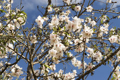 Almond blossom Stock Photography
