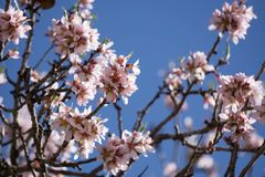 Almond blossom in the winter royalty free stock images