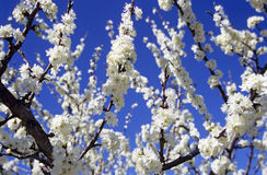 Almond Blossoms. Bloom in southern France stock images