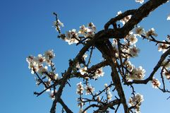 Almond blossoms Stock Photos