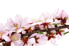 Almond blossoms Stock Images