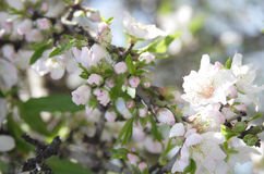 Almond blossoms. Spring time buds and flowers Stock Image