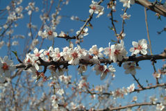 Almond blossoms. Over a blurry blue background royalty free stock images
