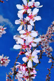 Almond blossoms Royalty Free Stock Photography