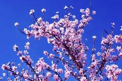 Almond blossoms Stock Photos