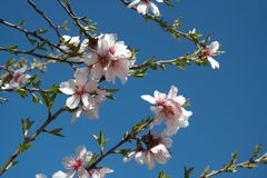 Almond blossoms. Blossoms of almond-tree over skyblue royalty free stock photography