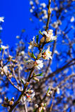Almond blossoms against the blue sky.  Royalty Free Stock Images