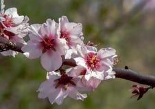 Almond blossoms as macro photo stock photo